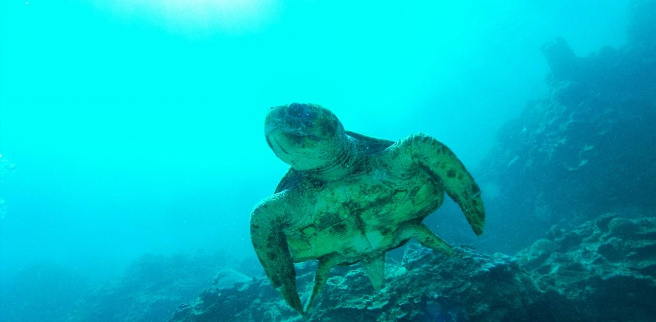 Dive Ningaloo - Loggerhead Turtle - Westside