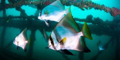 Dive Ningaloo - Exmouth Navy Pier - Batfish