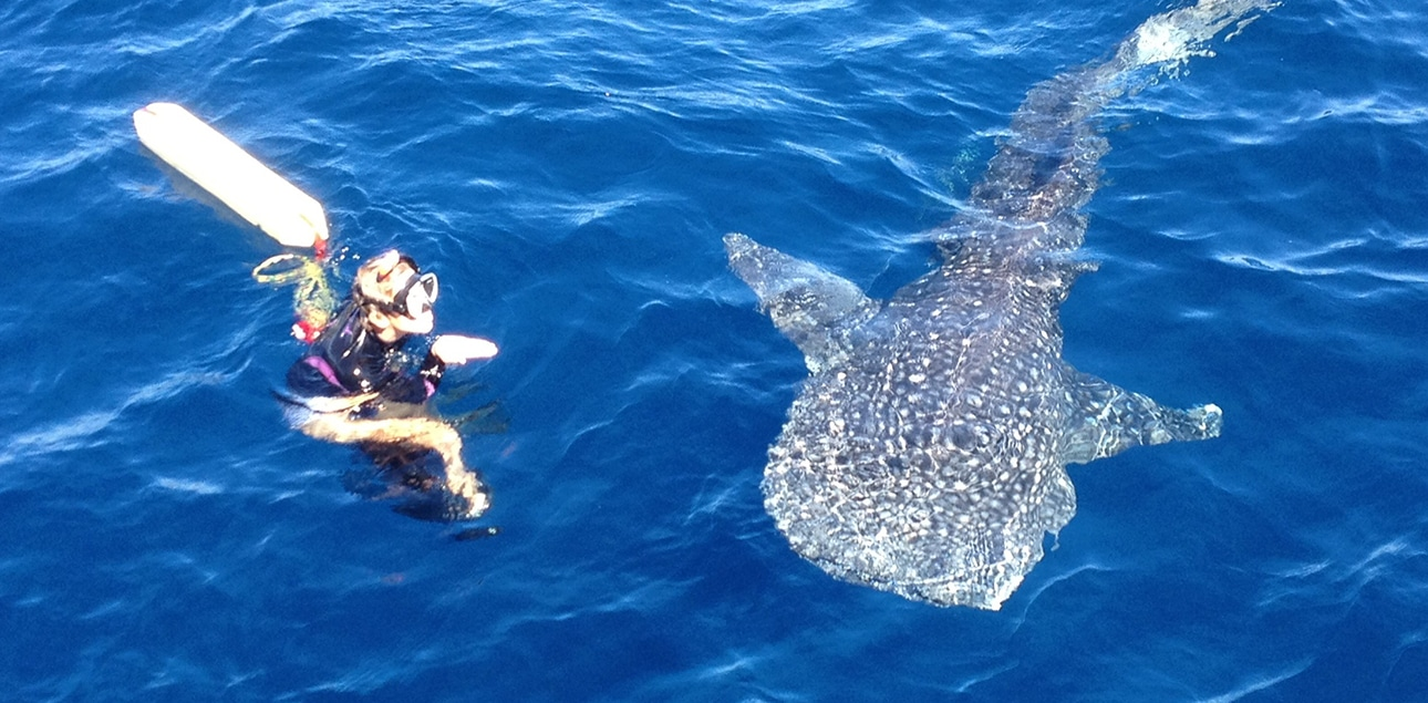Dive Ningaloo - Whaleshark at surface