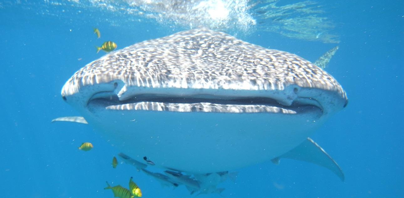 Dive Ningaloo - Whaleshark Smile
